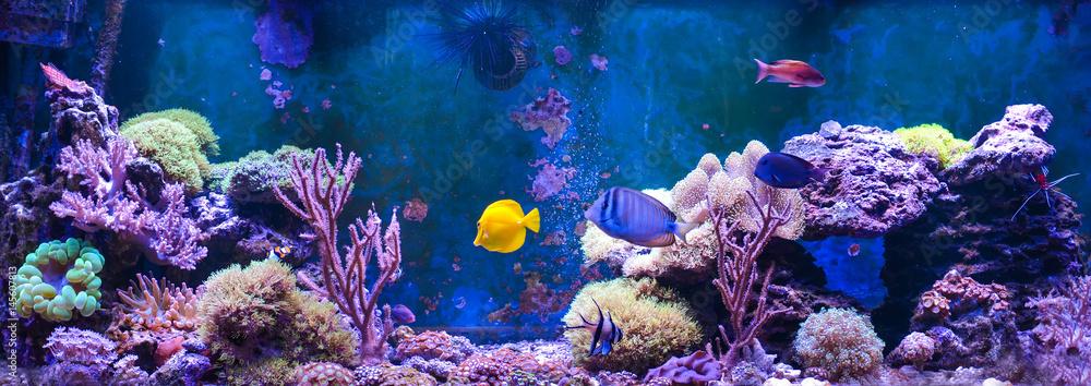 Fototapeta Reef tank, marine aquarium. Blue aquarium full of plants. Tank filled with water for keeping live underwater animals. Gorgonaria, Sea Fan. Clavularia. Zoanthus. Zebra apogon. Zebrasoma. Percula.
