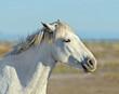 Portrait of the White Camargue Horse in Parc Regional de Camargue - Provence, France.