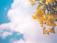 Yellow Bell Flower With Blue Sky