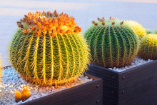 Golden Barrel Cactus With Flow...