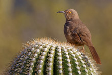 Curve Billed Thrasher & Bokeh .