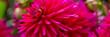Leinwanddruck Bild - Kräftige Pinke Dahlie - Banner
