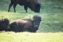 Buffalo Lying In Green Grass Smoky Mountains Tennessee