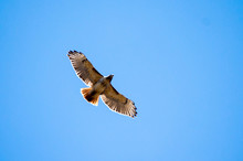 Red Tailed Hawk Soaring Over T...