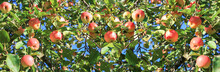 Harvesting Fruits Apples In  O...