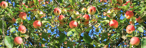 harvesting fruits apples in  orchard,panorama