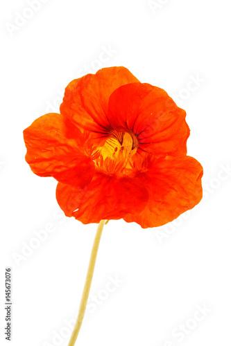 Cadres-photo bureau Fleuriste nasturtium flower
