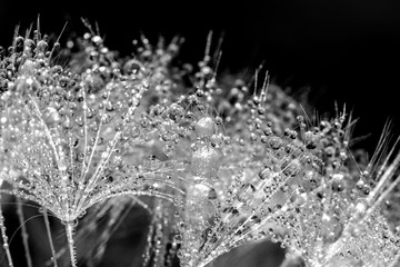 Fototapeta Czarno-biały Dandelion