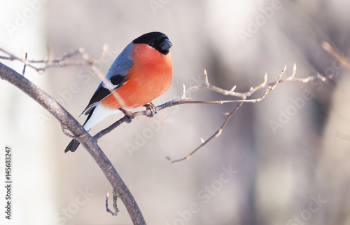 Cuadros en Lienzo Bullfinch on a branch in the forest