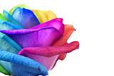 Fototapeta Tęcza - rainbow rose