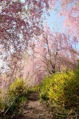 Fototapeta Egzotyczne 枝垂れ桜と連翹
