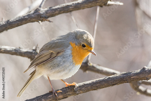 Photo  robin on a branch