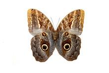 Бабочка совиный ...