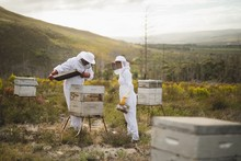 Beekeepers Examining Artificial Beehive At Apiary