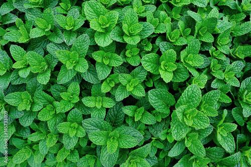 Obraz green mint plant in growth at vegetable garden - fototapety do salonu