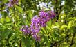 Beautiful Lilac flowers closeup