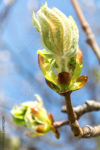 Opening bud Chestnut