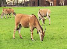 Group Of Eland Antelopes (Taur...