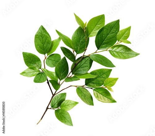 Fototapeta Green leaves on branch obraz na płótnie