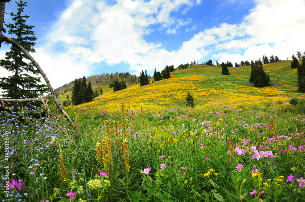 Meadow on Beartooth Pass