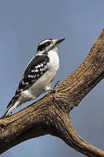 A Female Downy Woodpecker ( Pi...