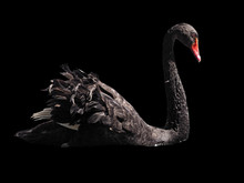 Black Swan Sweaming Isolated At The Black