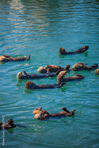 Photo  sea otters with pups raft up in the harbor at Moro Bay, California