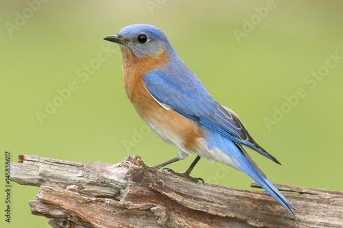 Sticker - Male Eastern Bluebird (Sialia sialis)