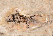Fossil Of Prehistoric Lizard S...