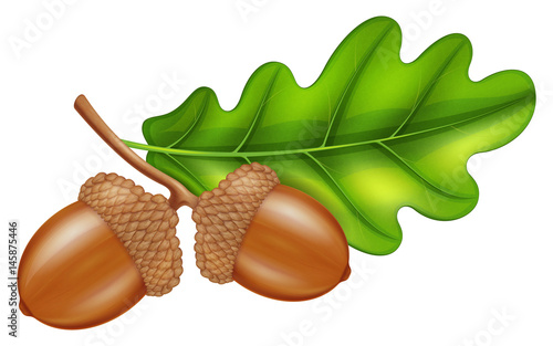 Photo Oak branch with acorns and green leaf. Vector illustration.