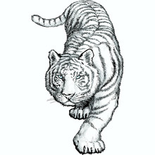 The White Bengal Tiger Crouching Before Jumping.