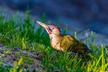 Green Woodpecker Looking For F...