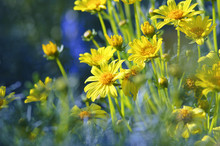 Coreopsis Gigantea (Giant Coreopsis) Flowers