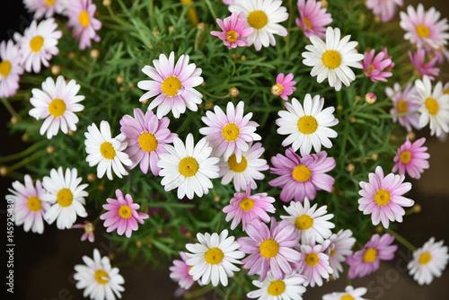 Papiers peints Marguerites Maguerites roses et blanches au printemps au jardin