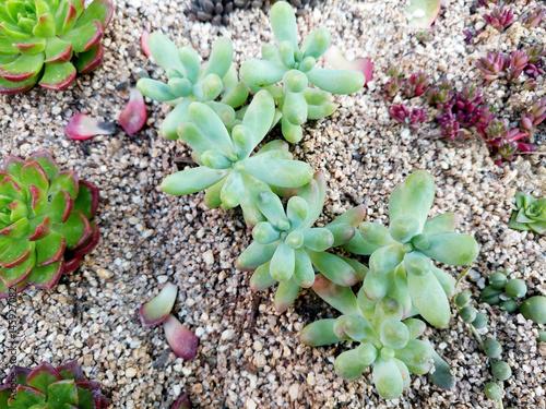 Fotografie, Obraz  옥상 정원에 이쁘게 잘 자라난 다육식물