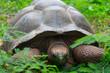 Frei laufende Landschidkröte auf La Digue, Seychellen