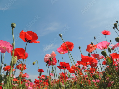 In de dag Poppy 天空のポピー