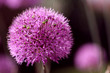 Kugelblume lila