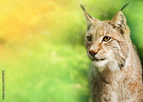 Foto auf Leinwand Luchs Young male lynx, looking towards the camera, green background.