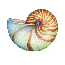 Nautilus Sea Shell. Marine Design. Hand Drawn Watercolor Painting On White Background.