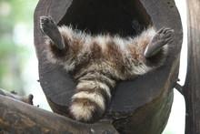 Waschbär Beim Schlafen