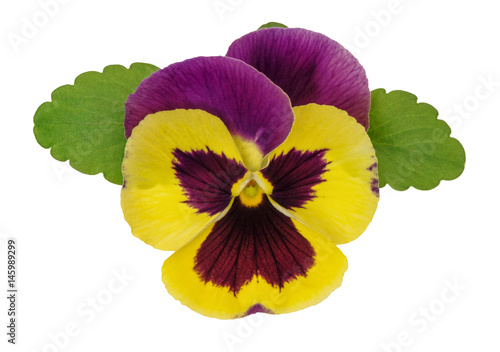 Foto op Plexiglas Pansies Pansy flower head green leaves isolated white background