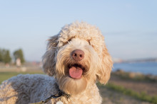 Very Cute Labradoodle Dog Smil...