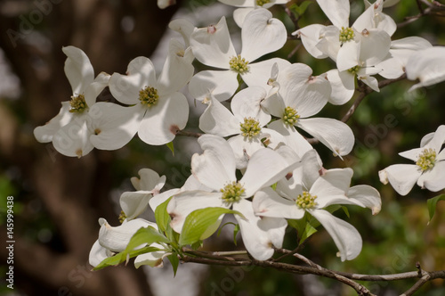 Pretty White Dogwood Flowers In The Sun And Shade Buy This Stock
