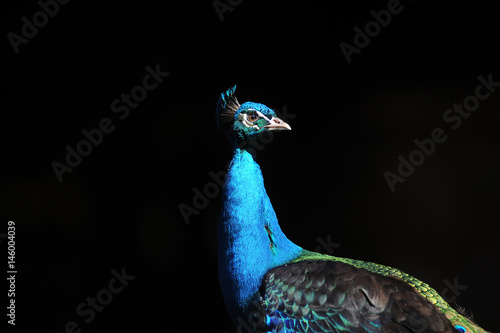 Isolated Male Peacock Against A Black Background