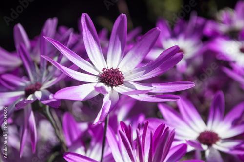 Papiers peints Marguerites marguerites violottes en gros plan