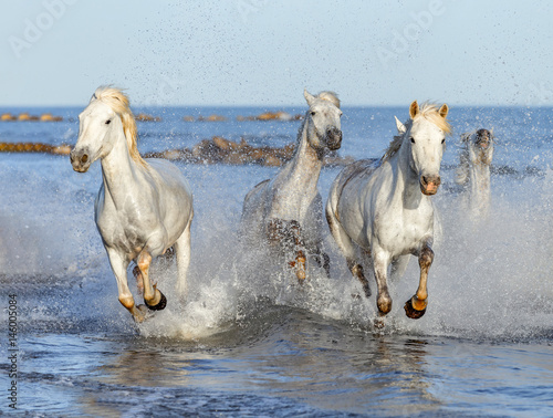 galopujace-biale-konie-camargue