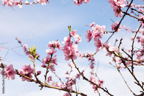 Cherry tree branch bud blossom background as beautiful spring flower blooming season concept