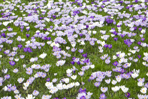 Foto op Aluminium Purper Crocuses in a field