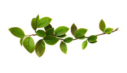 Fresh green leaves on branch